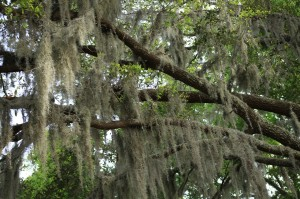 Gainesville tree service- Spanish moss