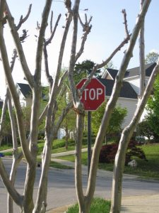 poor pruning of crape myrtle